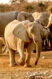 Walking Elephant. Elephant in National Park of Etosha royalty free stock photo