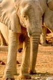 Walking Elephant. In National Park of Etosha stock image
