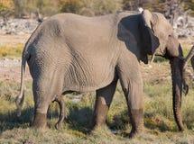 Walking elephant. Side view of walking male elephant in Etosha, Namib royalty free stock image