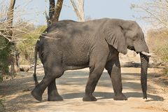 Walking elephant Stock Image