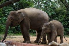 Walking Elephant. Two walking elephant under tree stock photos