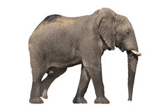 Walking elephant on white Royalty Free Stock Photo