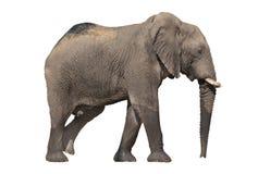 Walking elephant on white. Side view of walking elephant on white background royalty free stock photo