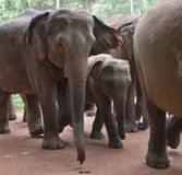 Walking elephants. Baby-elephant and mother elephant walking  close to each other in a big group of elephants Royalty Free Stock Images