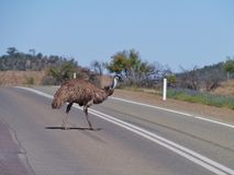 A walking emu Stock Photography