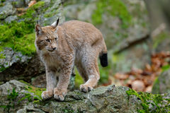 Walking eurasian wild cat Lynx on green moss stone in green forest in background Royalty Free Stock Image