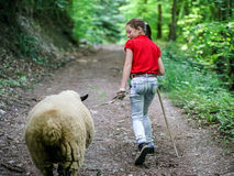 Walking with the farm sheep Royalty Free Stock Image