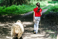 Walking with the farm sheep Royalty Free Stock Photos