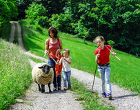 Walking with the farm sheep Stock Photography
