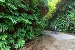 Fern Canyon, Redwoods State Park royalty free stock photography