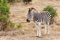 Walking In The Field - Burchell's Zebra Stock Photography