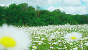 Walking through the field of Chamomile flowers swaying in the wind. Soft focus. Camera flight just above flowers stock video footage