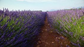 Walking on a field with lavender plants