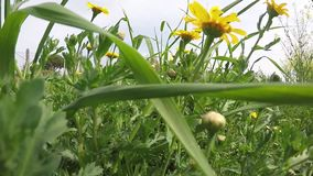 Yellow Daisies Field. Walking in a field with yellow daisies, shooting close up, from a low point, among the plants stock video footage