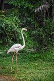 Walking Flamingo Stock Images