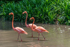 Walking Flamingo. A group of Orange of Flamingos walking in the swamp Stock Photo