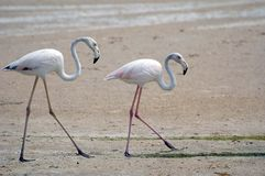Walking flamingoes. Two flamingos walking shot in Dubai UAE stock photos