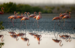 Walking Flamingos. Stock Images
