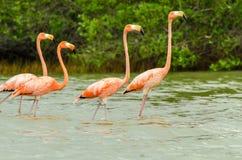 Walking Flamingos Stock Photo