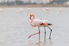 Free Walking Flamingos And Hala Sultan Tekke At Larnaca Salt-lake, Cy Royalty Free Stock Photo - 83772665