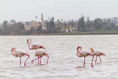 Free Walking Flamingos And Hala Sultan Tekke At Larnaca Salt-lake, Cy Royalty Free Stock Image - 83773506