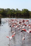 Walking flamingos in the Camargue, France royalty free stock photo