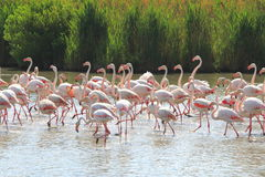 Walking flamingos in the french Camargue stock images