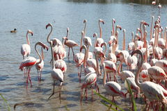 Walking flamingos in french Camargue stock photography