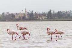 Walking Flamingos and Hala Sultan Tekke at Larnaca Salt-lake, Cy Royalty Free Stock Image