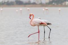 Walking Flamingos and Hala Sultan Tekke at Larnaca Salt-lake, Cy Royalty Free Stock Photo