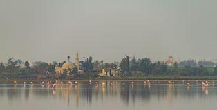 Walking Flamingos and Hala Sultan Tekke at Larnaca Salt-lake, Cy Stock Photography