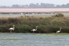 Walking flamingos, Le Grau-du-Roi, Camargue, France royalty free stock image