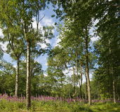Walking in a foxgloves woods Royalty Free Stock Image