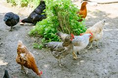 Happy farm hens - free range hens of sustainable farm in chicken garden. Walking free roaming Brown, black and mixed hens Picking on ground in chicken yard stock images