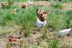 Happy farm hens - free range hens of sustainable farm in chicken garden. Walking free roaming brown, black and White hens on ground of chicken yard royalty free stock photos