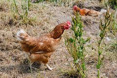 Happy farm hen - free range hens of sustainable farm in chicken garden. Walking  free-roaming brown hen and another laying in ground nest  in chicken yard stock photos
