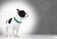 Walking french bulldog puppy looking up Royalty Free Stock Images