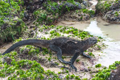 Walking Galapagos Marine Iguanas. Galapagos Stock Photos