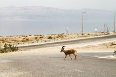 Walking Gazelle, Dead Sea Royalty Free Stock Images