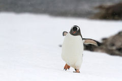 Walking Gentoo penguin Royalty Free Stock Image