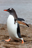 Walking Gentoo penguine, Antarctica Royalty Free Stock Photos