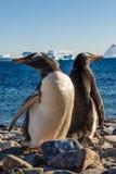 Walking Gentoos, Cuverville Island Gentoo penguins Stock Photo