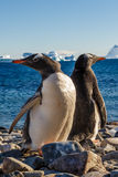 Walking Gentoos, Cuverville Island Gentoo penguins Royalty Free Stock Photo