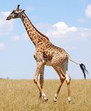Walking Giraffe Royalty Free Stock Photography