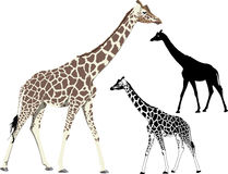 Walking giraffe. Vector illustration and silhouette of walking (standing) giraffe Royalty Free Stock Photography