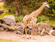 Walking giraffe Royalty Free Stock Image