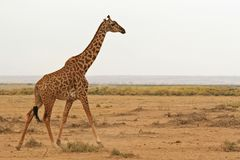 Walking giraffe. Photo of a Wild Giraffe walking in Africa Royalty Free Stock Images