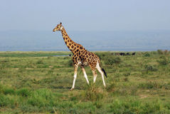 Walking Giraffe - Etosha National Park Stock Photography