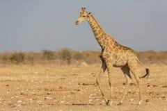 Walking Giraffe Giraffa. Etosha National Park, Namibia Royalty Free Stock Images