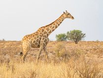 Walking Giraffe. A giraffe walking in the Kgalagadi Transfrontier Park, situated in the Kalahari Desert which straddles South Africa and Botswana Royalty Free Stock Photography
